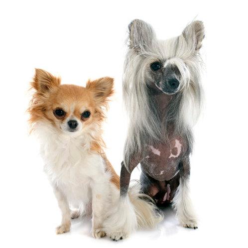 Malý pes od: