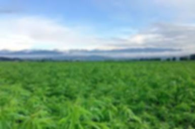 hemp in field.jpg