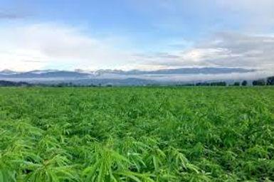 hemp in field.jpg