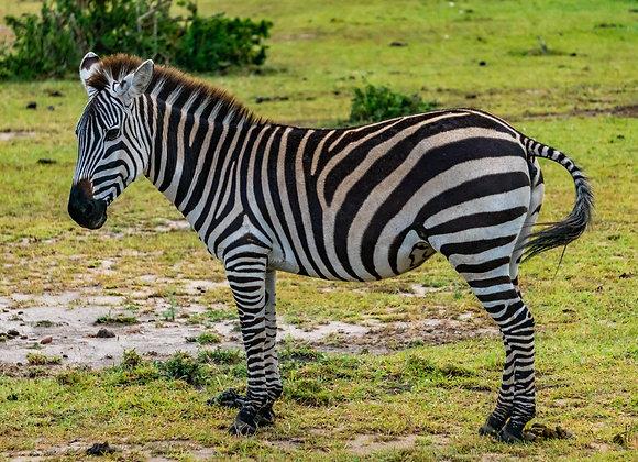 La Zebra de la Sabana en Tanzania