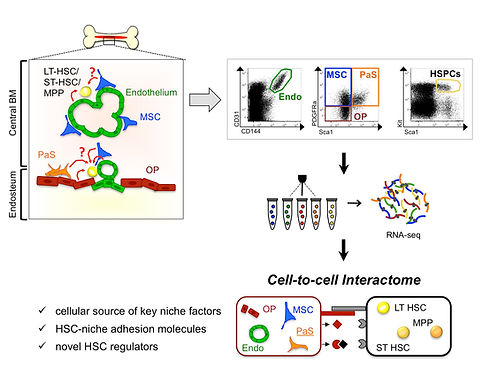 Mende et al Visual, Hematopoietc stem cell, Germany