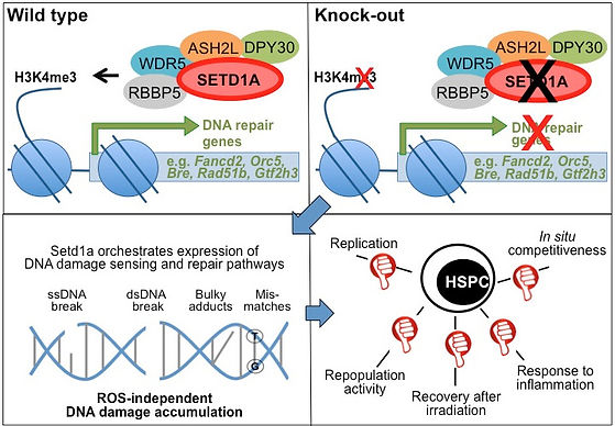 SETD1A controls the expression of DNA damage and repair machineries, protecting HSCs from actvation-induced attrition in vivo.