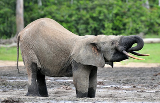 16 Jul 2019 - Forest elephants are our allies in the fight against climate change