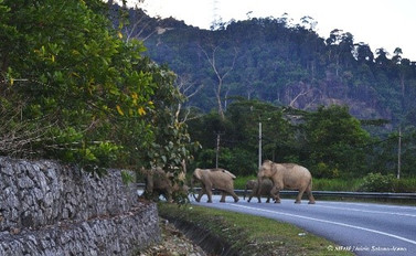 Elephants, Roads and Drivers: Case Study of Gerik-Jeli Highway