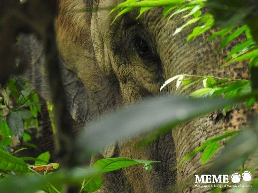 A big difference between Asian and African elephants is diet