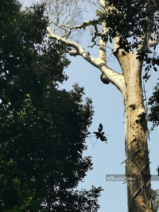 23 Mac 2019 – The enchanted forest of Ulu Muda