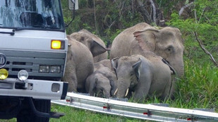 9 Jan 2018 - Why did the elephant cross the road? In Malaysia they are trying to find the answer