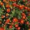 Thumbnail: SEEDS French Marigolds from Jamieson Farm