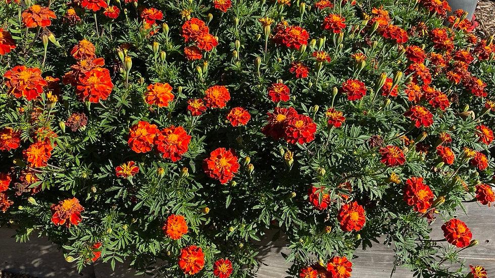SEEDS French Marigolds from Jamieson Farm