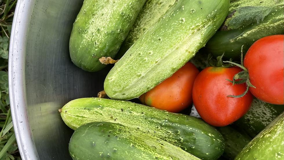 Pickling Cucumbers 🥒