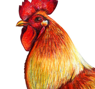 Year of the Yin Fire Rooster
