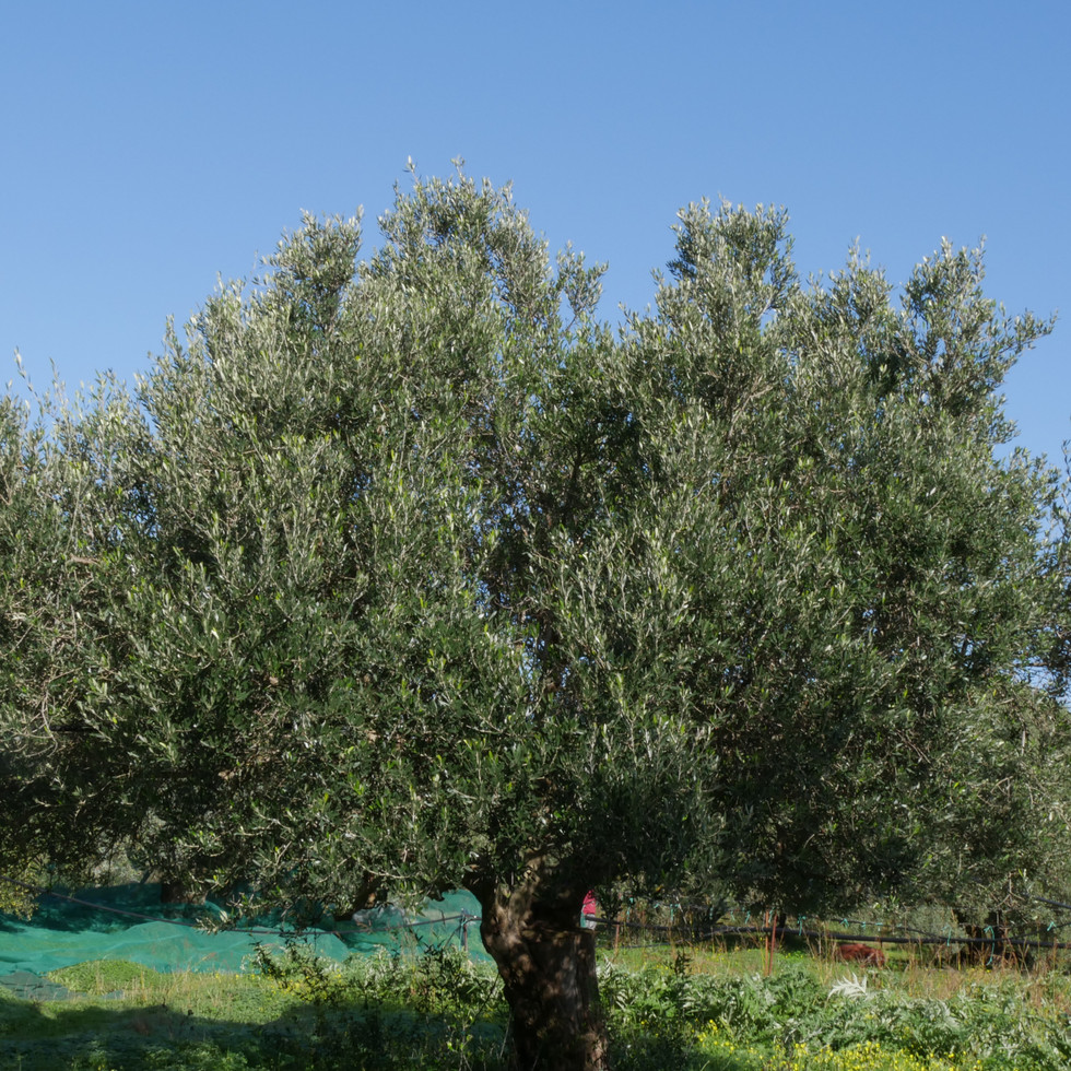 oliveraie_crete_tinafto