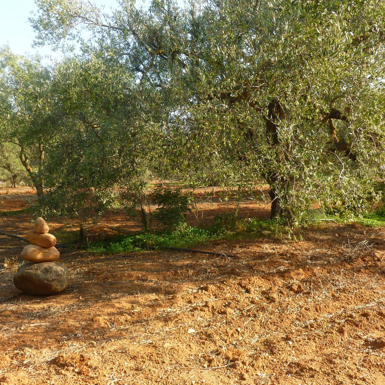 oliveraie_crete_tinafto_huile_d_olive