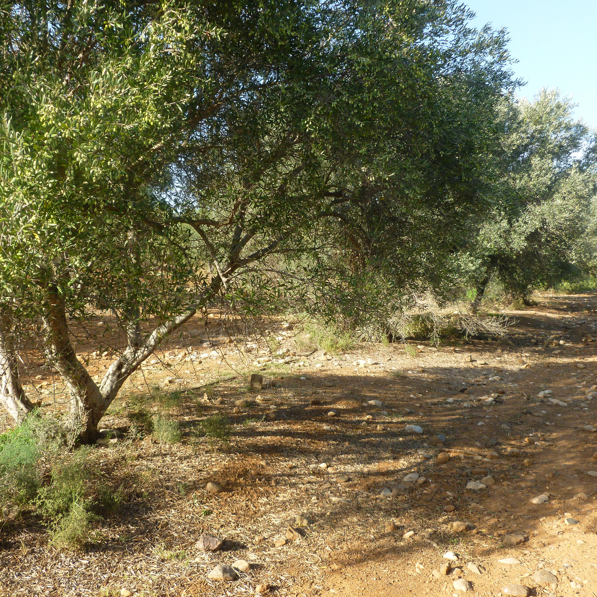 oliveraie_crète_tinafto