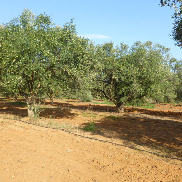 oliveraie_crete_tinafto_olives