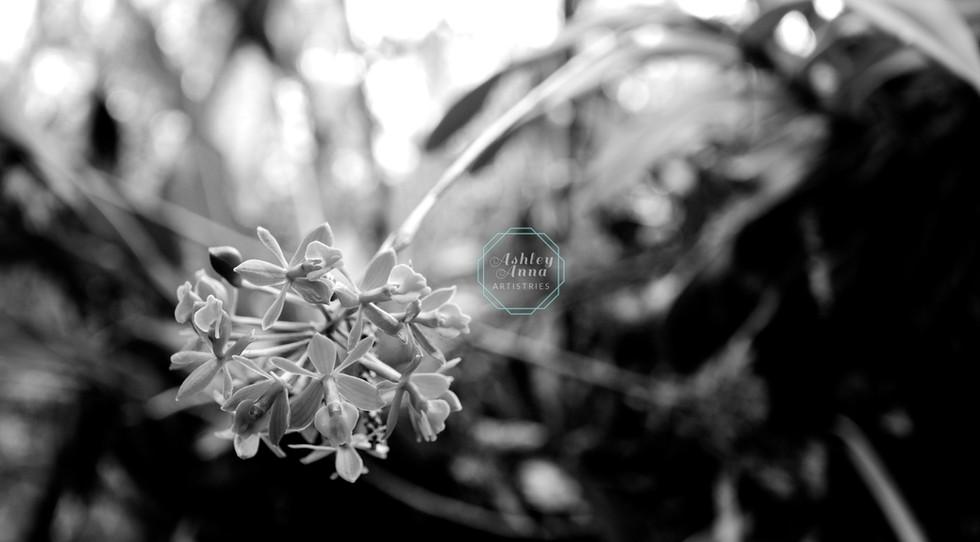 Everglades' Orchids