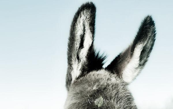 Duffy_DonkeyEars-wm.jpg
