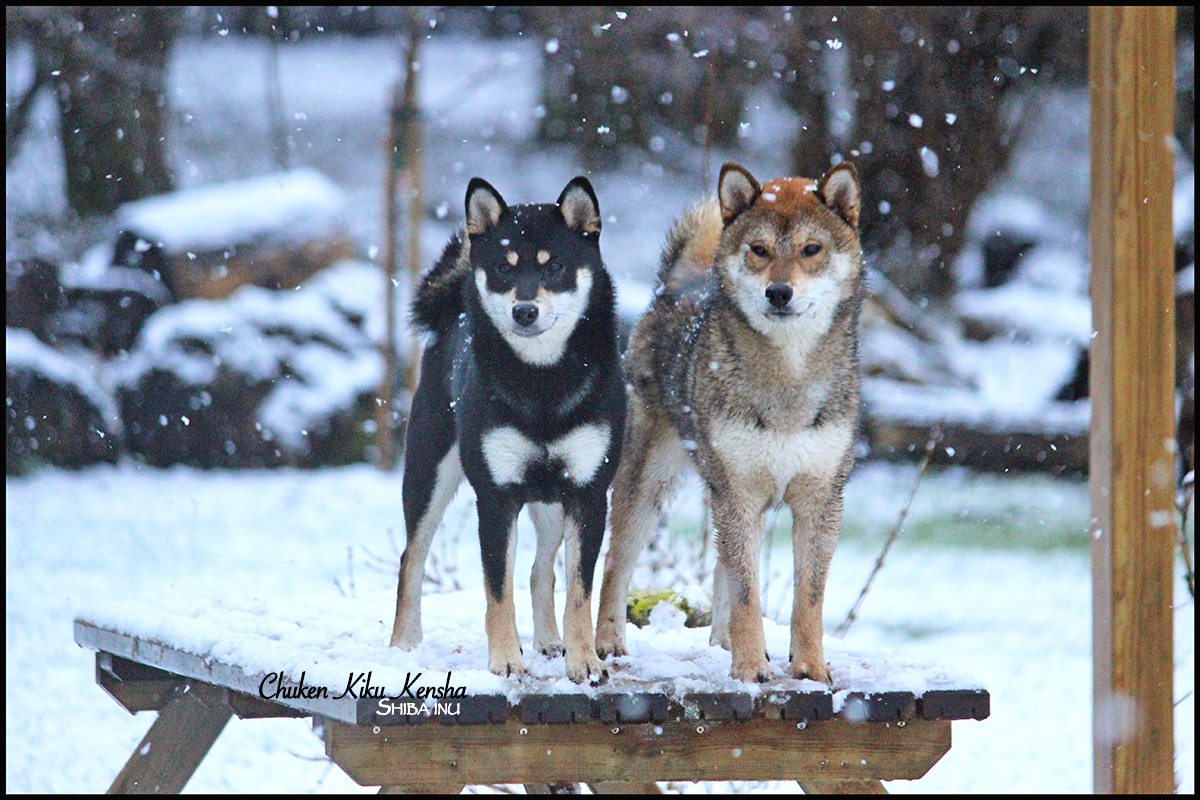 Shiba inu snow