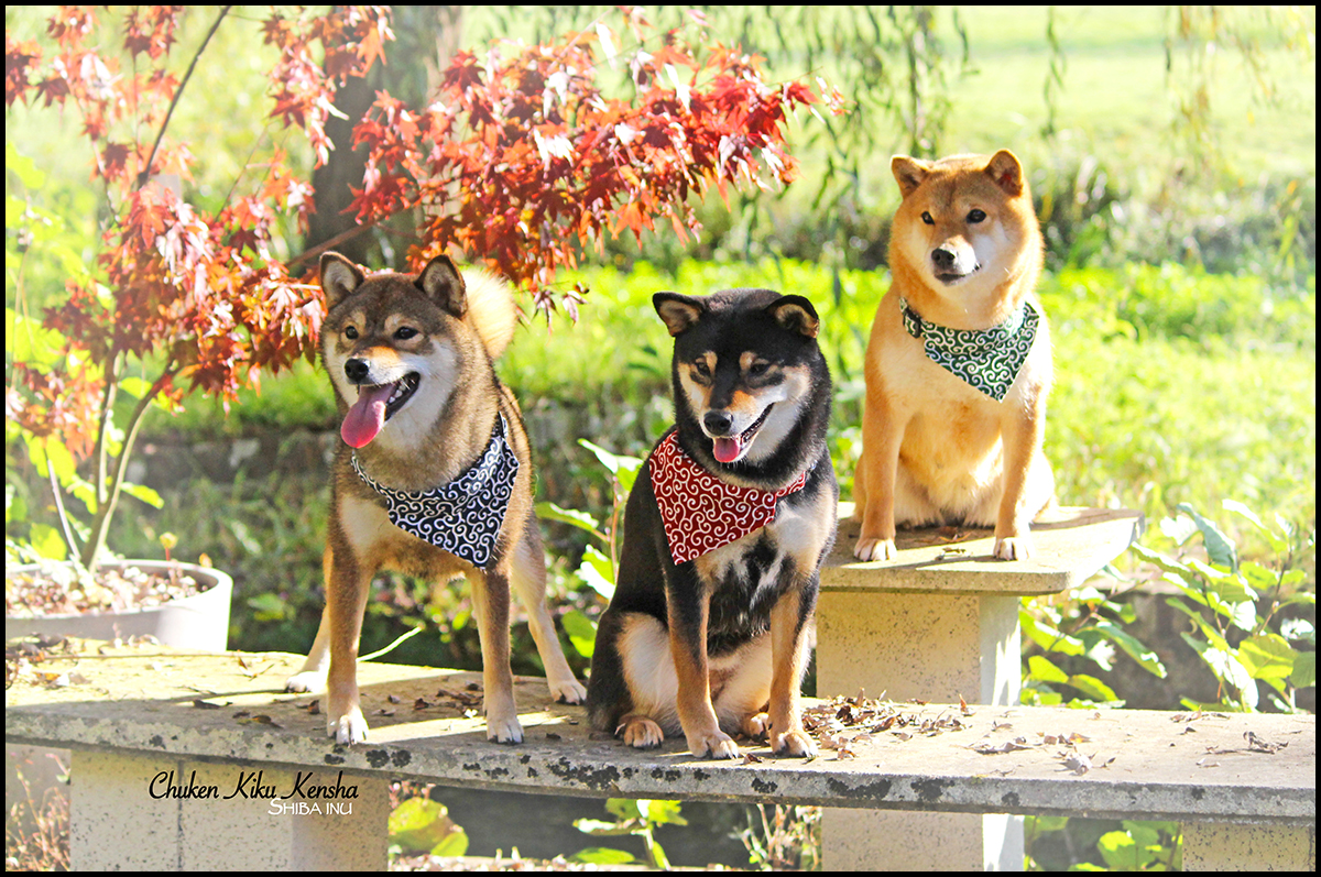 3 Girls shiba