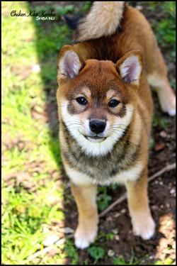 Puppy goma shiba