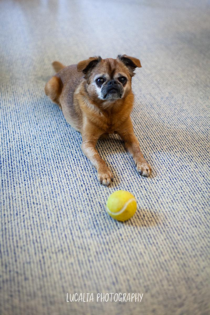 dog on carpet floor with tennis ball, Mount Holdsworth, Wairarapa family photographer