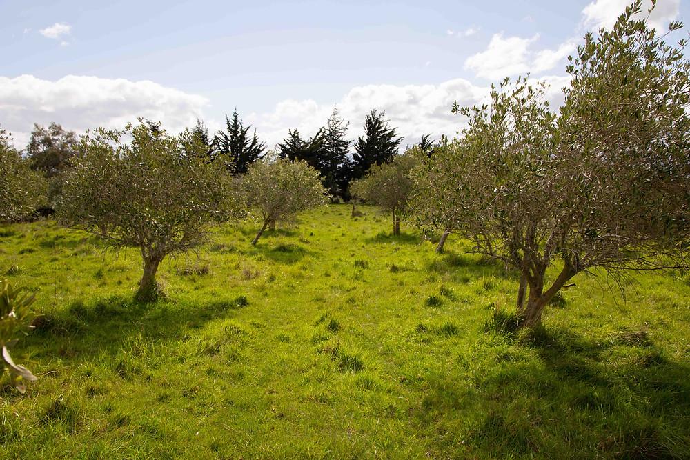 olive groves at Olivio~nor, Martinborough, Wairarapa wedding venue