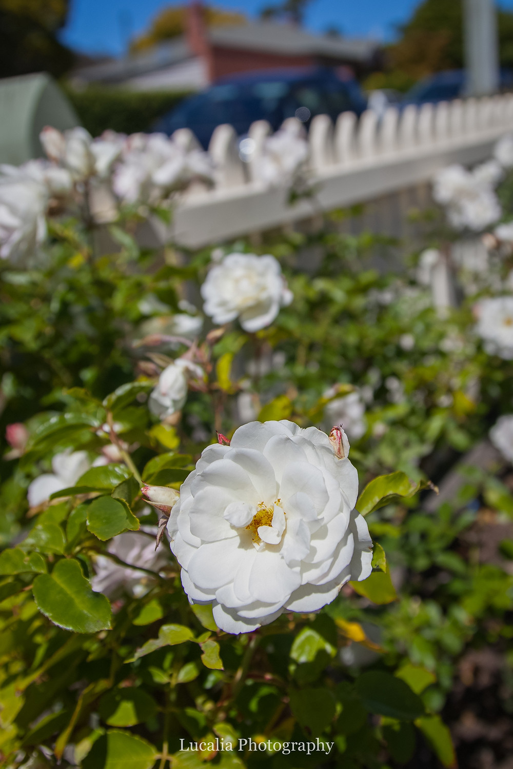 iceberg rose growing in mum's garden, Wairarapa wedding photographer