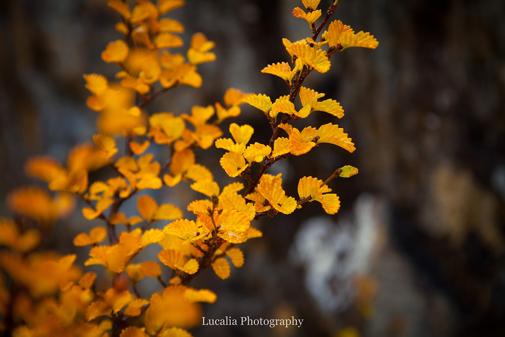 yellow fagus turning, Mt Field National Park, Tasmania, Australia