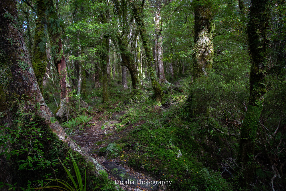 beech forest, Mt Holdsworth, Wairarapa, New Zealand