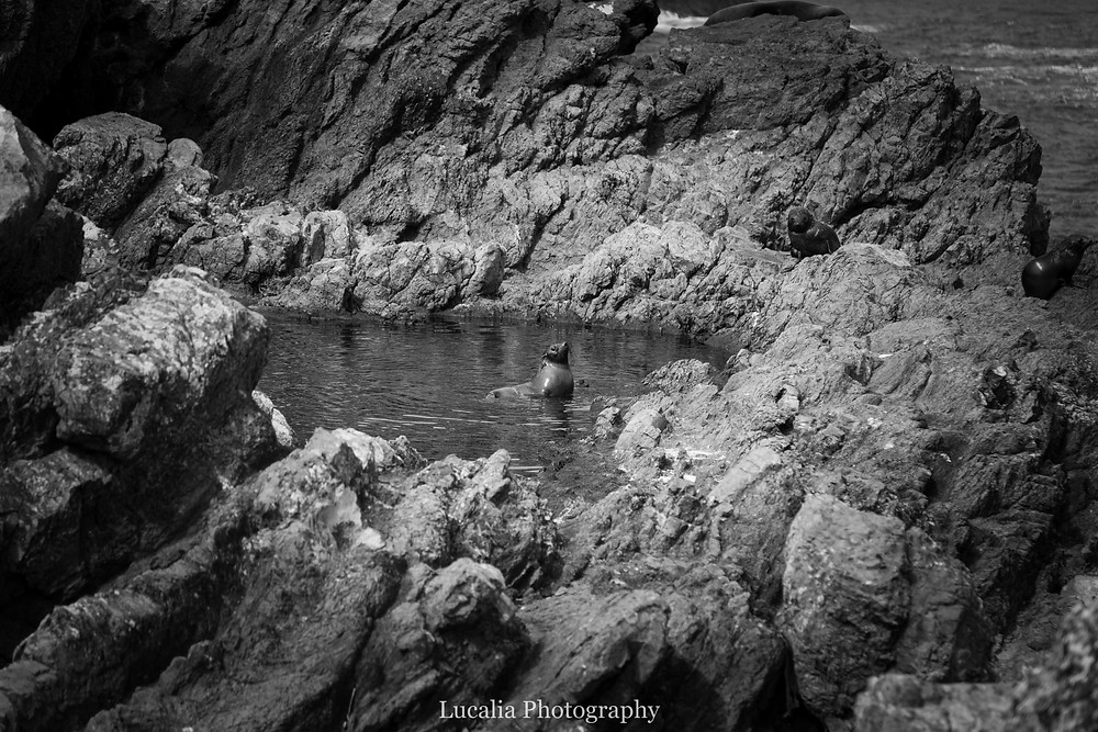 New Zealand fur seal playing in a rock pool, Cape Palliser, Wairarapa New Zealand