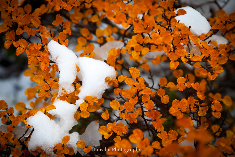 yellow fagus with snow, Mt Field National Park, Tasmania, Australia