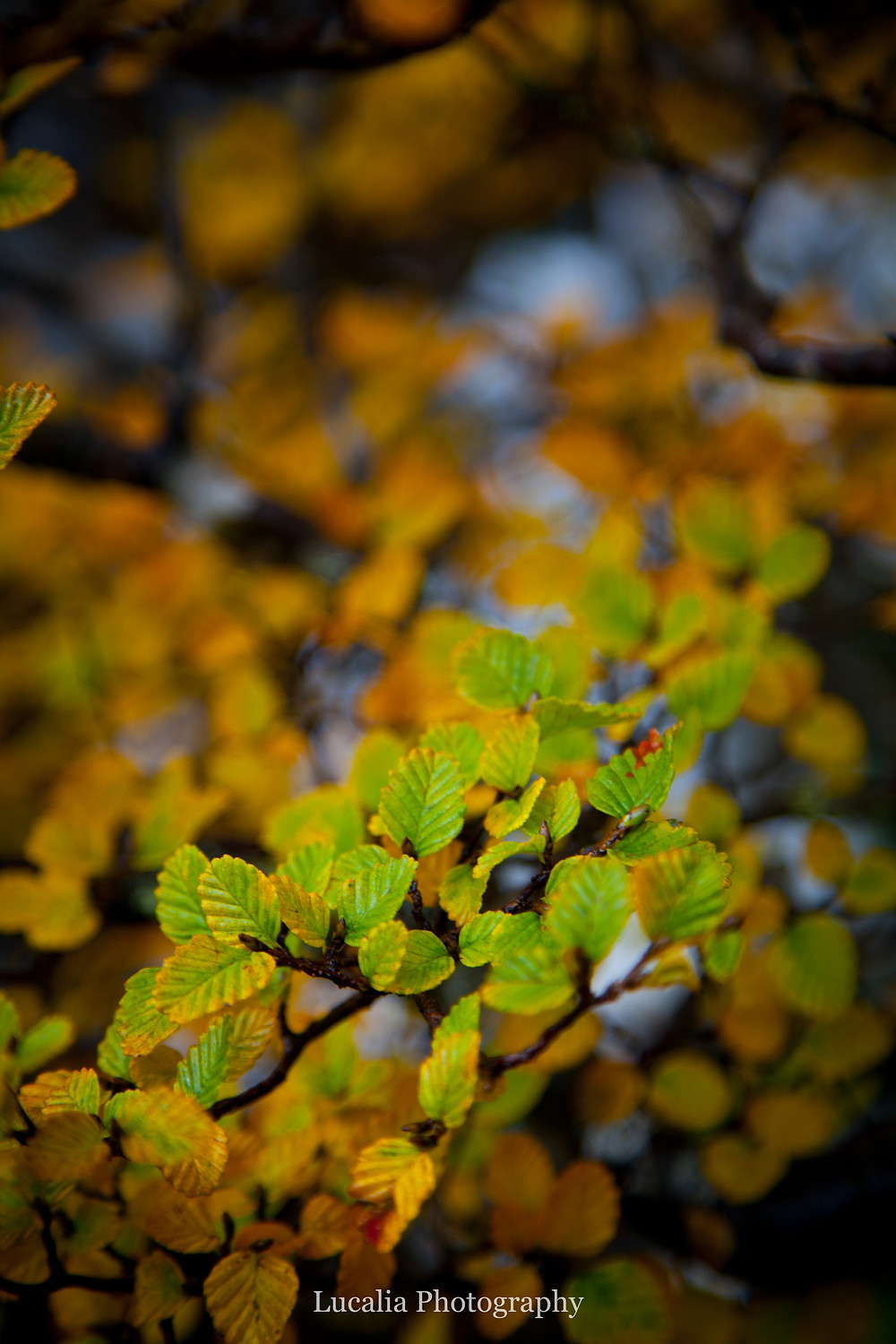 turning fagus leaves, Mt Field National Park, Tasmania, Australia
