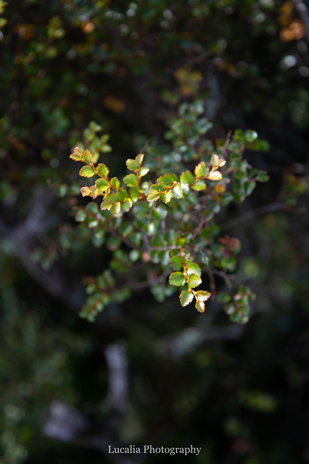 fagus leaves, Mt Holdsworth, Wairarapa, New Zealand