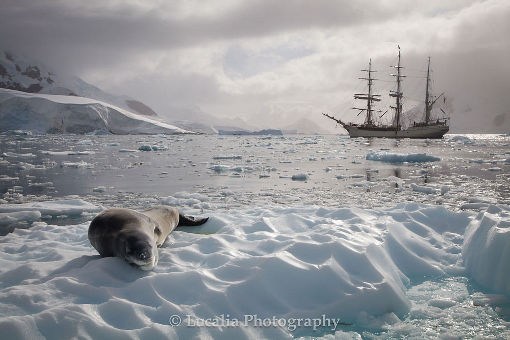 Photograph of a Leapod seal lying on a piece of ice looking at the camera in Antarctica. In the background is the tall ship Bark Eurpoa.