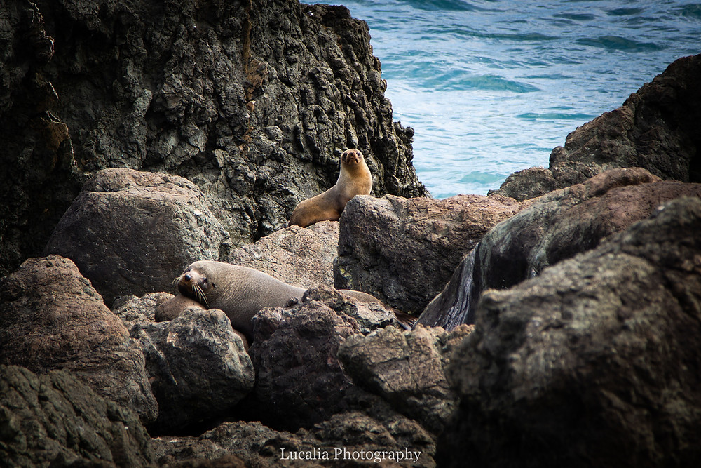 New Zealand Fur Seals, Palliser Bay, Wairarapa, New Zealand