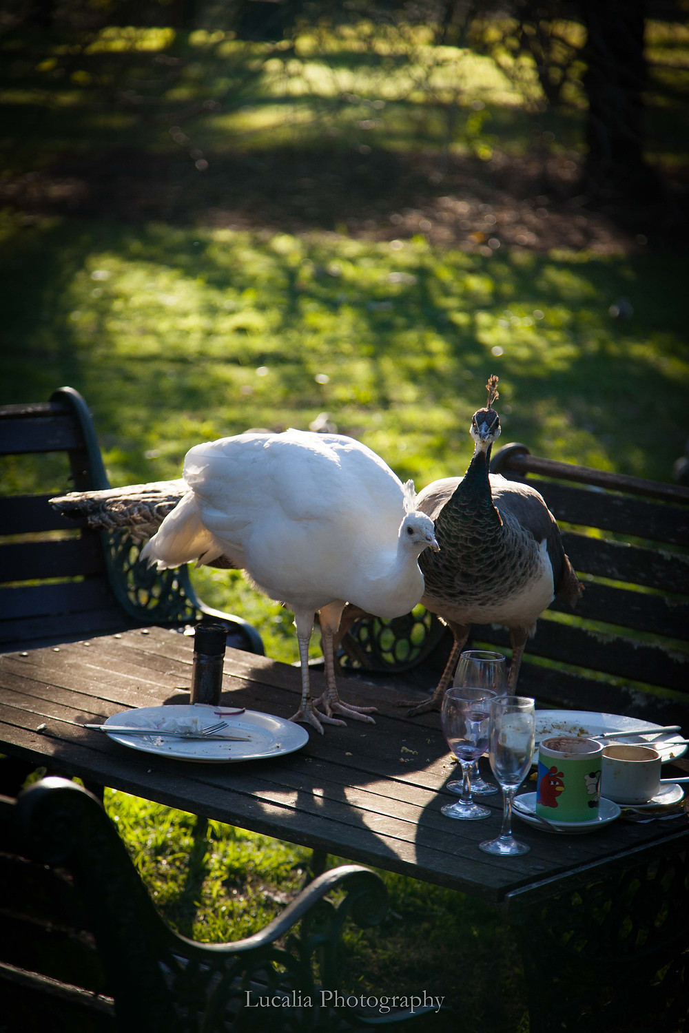 peacocks on a table at Settlers Arms Inn, St. Albans NSW, Lucalia Photography