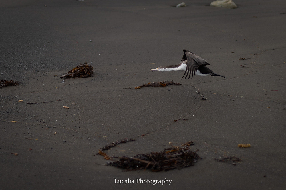 Pied Shag flying over black volcanic sand at White Rock, Wairarapra