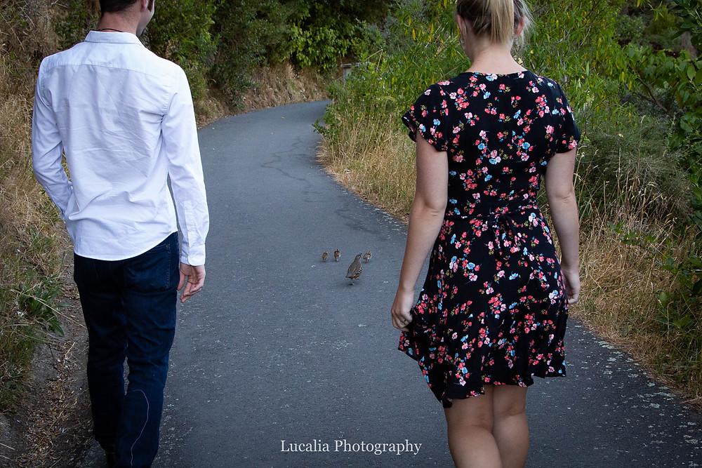engaged couple walking being family of California quail, Zealandia, Wellington