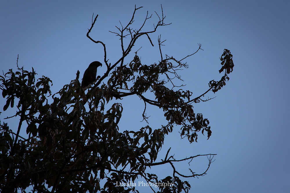 silluette of a Kaka in a tree, Zealandia, Wellington