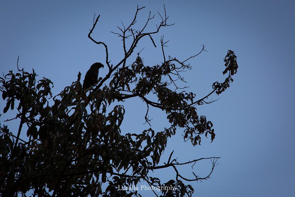 silluette of a Kaka in a tree, Zealandia, Wellington
