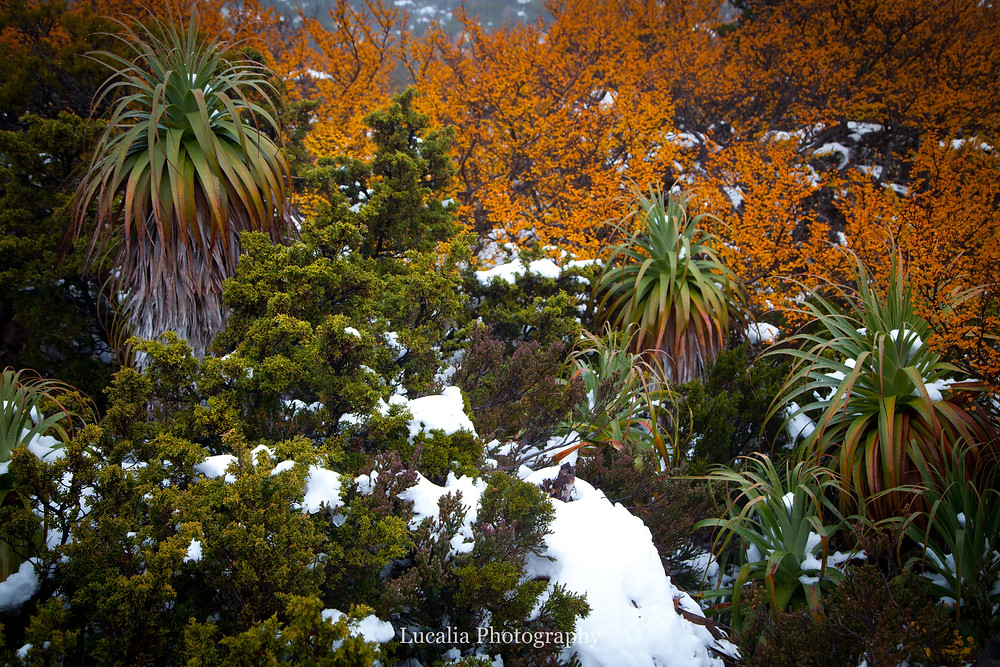 turning fagus, snow and pandanis, Mt Field National Park, Tasmania, Australia