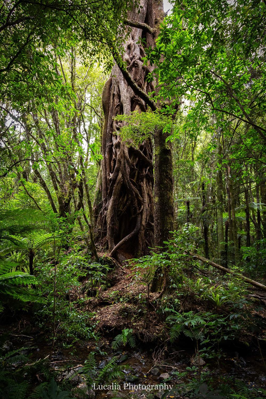 old tree in the forest at Kiriwhakapapa Wairarapa wedding venue