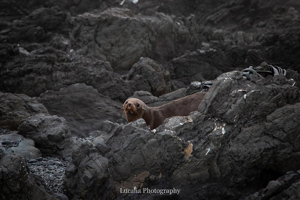 NZ fur seal, Cape Palliser, Wairarapa