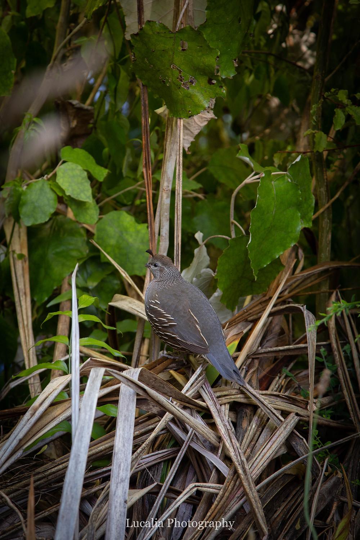 female California quail, Zealandia, Wellington