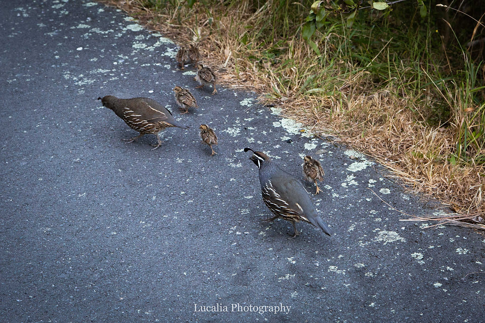 family of California quail, Zealandia, Wellington