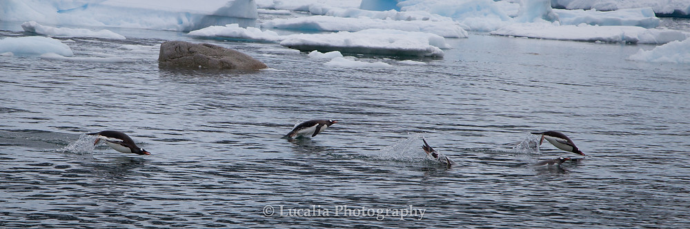 A panoramic landscape photograph of five Gentoo penguins porpising across the water. There is ice and rocks in the background.