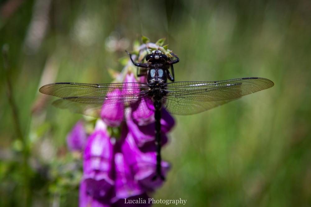 Dragonfly drinking nector from a foxglove, Remutaka Incline, Wairarapa walk