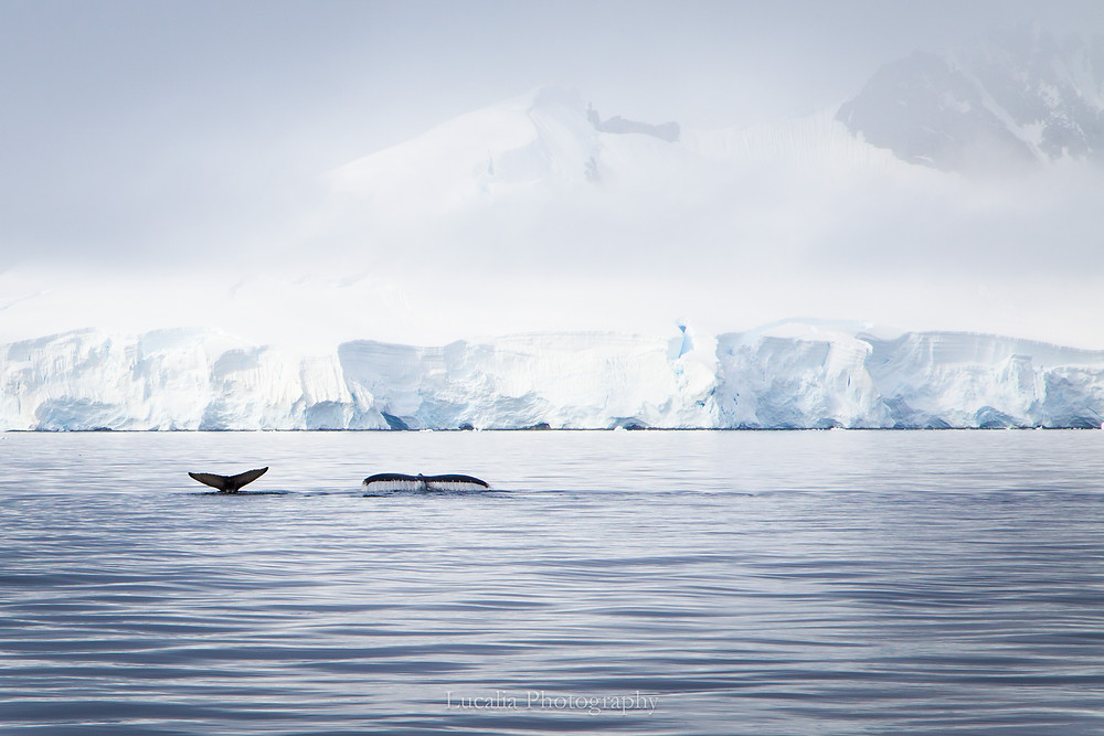 A photograph of two whale tails as they dive into the ocean There is an ice shelf and snow covered mountains in the background