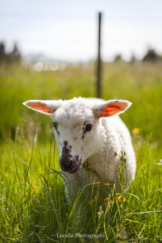 spring lamb in long grass, Wairarapa family photographer