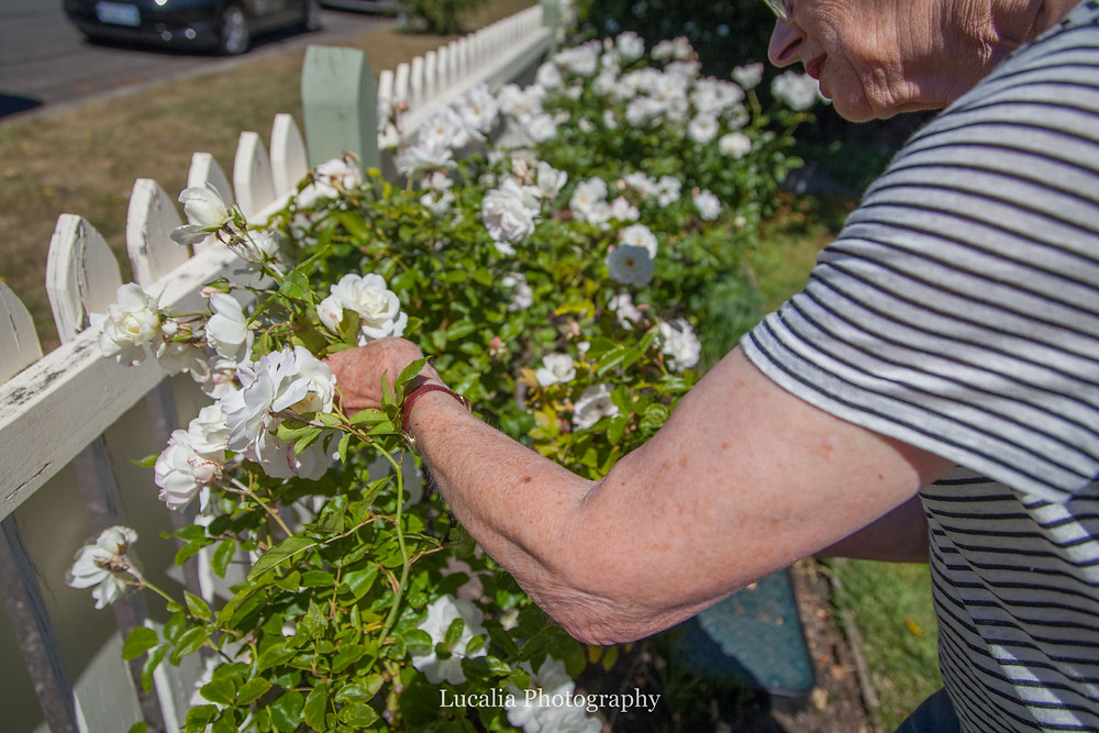 lady picking roses with white picket fence, Wairarapa wedding photographer